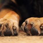 Hundepfoten