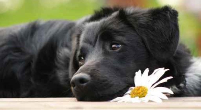 Kamille als Hunde-Heilmittel
