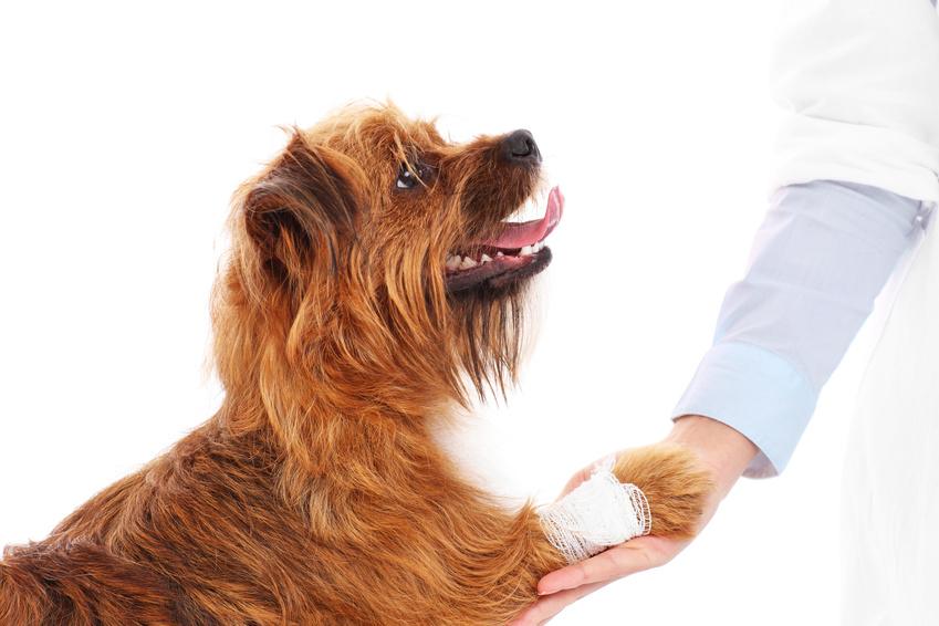 Hund mit einer Bisswunden