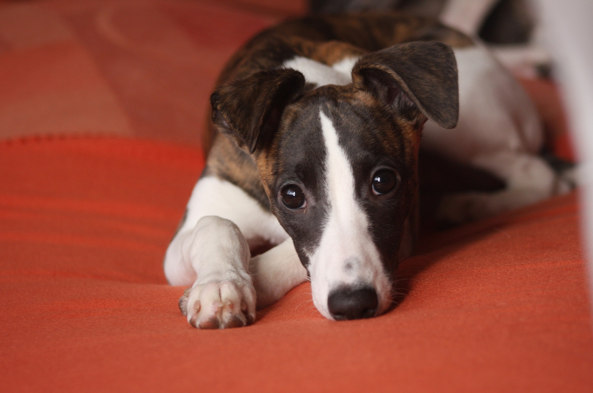Problemhund Whippet liegt auf einer Decke