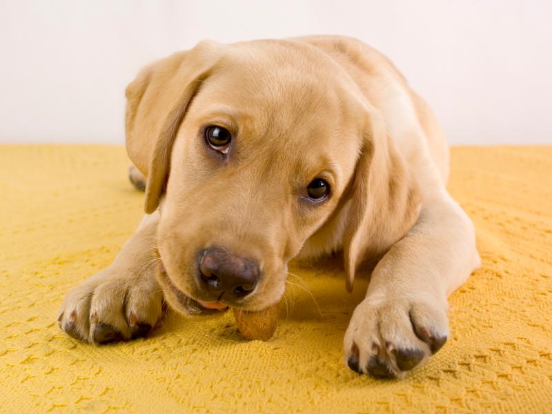 Labrador Welpe mit Leckerlie