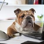 Englische Bulldoge am Schreibtisch