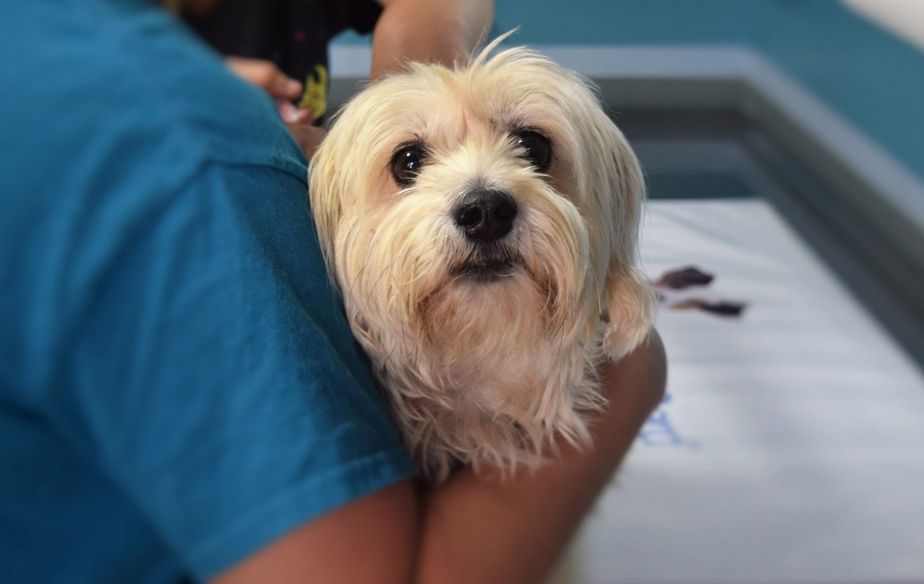 Giardiose beim Hund: Maltese beim Tierarzt