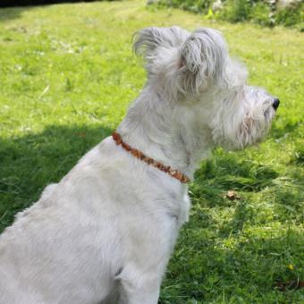 Bernsteinkette für Hunde